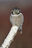 Northern Hawk-Owl - Surnia ulula