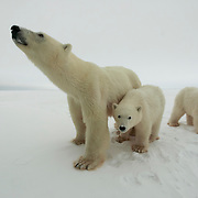 A mother polar bear and her two cubs at Cape Churchill near Churchill, Manitoba, Canada.