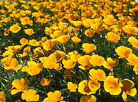 California state flower, Poppy, in Mendocino, California