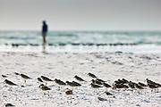 Shorebirds at Anna Maria Island, Florida, United States of America