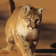Mountain Lion or Cougar (Felis concolor) running in sand dunes in the slot canyons in northern Arizona. Captive Animal