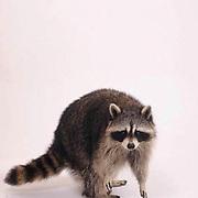 Raccoon, (Procyon lotor) Adult on white.Captive Animal.