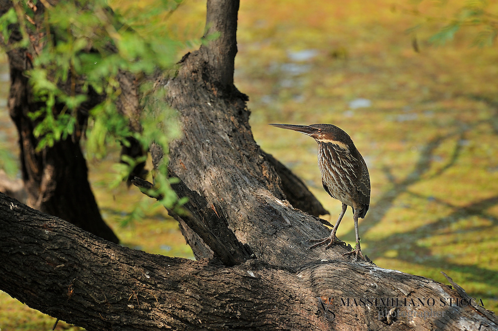 The Black Bittern, Ixobrychus flavicollis, is a bittern of Old World origin, breeding in tropical Asia from Bangladesh, Pakistan, India and Sri Lanka east to China, Indonesia and Australia. It is mainly resident, but some northern birds migrate short distances. This is a fairly large species at 58 cm (23 in) in length, being by some margin the largest bittern in the Ixobrychus genus. Compared to related species, it has a longish neck and long yellow bill. The adult is uniformly black above, with yellow neck sides. It is whitish below, heavily streaked with brown. The juvenile is like the adult, but dark brown rather than black.<br /> Their breeding habitat is reedbeds. They nest on platforms of reeds in shrubs, or sometimes in trees. 3-5 eggs are laid. They can be difficult to see, given their skulking lifestyle and reedbed habitat, but tend to fly fairly frequently, when the all black upperparts makes them unmistakable.<br /> Black Bitterns feed on insects, fish and amphibians.