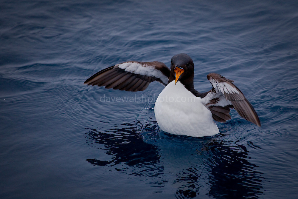 Brünnich's Guillemot, Uria lomvia, with an open beak and flapping wings, in the Arctic Ocean, north of Svalbard