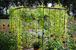 Cyclanthera pedata growing over a metal pergola in the potager at De Boschhoeve. Slipper gourd, lady's slipper' caygua, stuffing cucumber