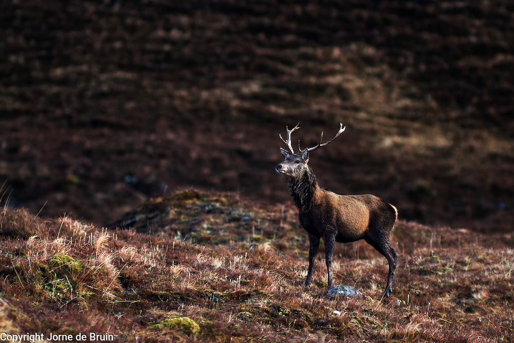 A red deer stands on a ledge with a hill in the backdrop in the Alladale reserve in Scotland