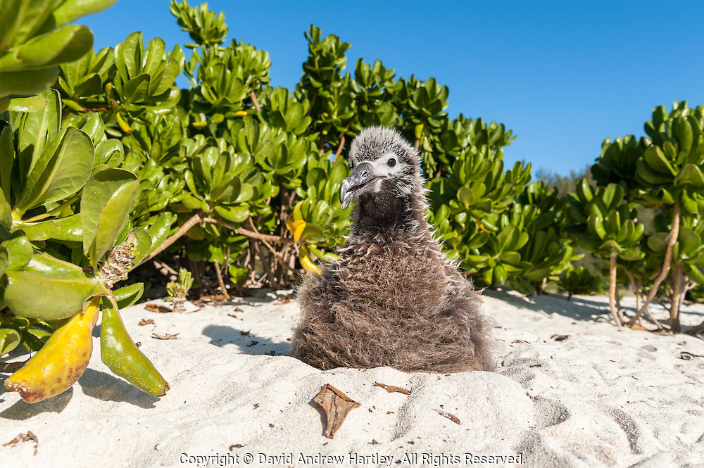 A Laysan Albatross (Phoebastria immutabilis) chick surrounded by Naupaka kahakai shrubs waits patiently on the beach. Midway Atoll National Wildlife Refuge.