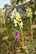 Sparse-flowered Orchid - Orchis pauciflora<br /> and Four-spotted Orchid O. quadripunctata