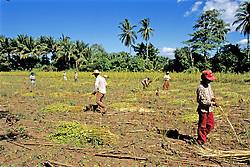 Workers Harvesting Sesame Plants