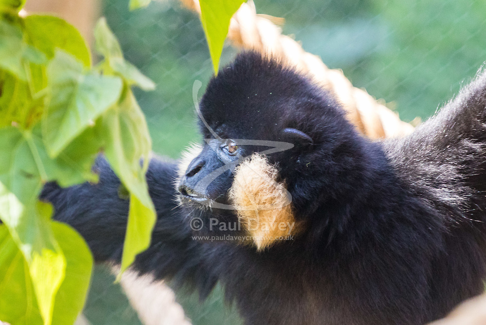 ZSL London Zoo, May 25th 2017.  A gibbon's face catches the morning sun during a photocall to promote ZSL London's newest exhibit, a treehouse style enclosure that will open to the public on Saturday 27th of May. The exhibit is home to duo Jimmy and Yoda, that will take people on a journey high into the Northern white-cheeked gibbon's (Nomascus leucogenys) treetop habitat, where they'll be able to watch the pair swing gracefully through a maze of branches and ropes.