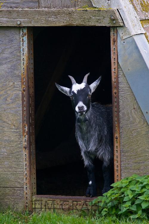 Free-range goat, Cotswolds, United Kingdom.