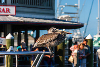 US, Florida, Key West. Juvenile Brown Pelican.