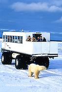 01874-06101 Polar Bear (Ursus maritimus) & Tundra Buggy   Churchill  MB