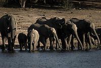 A herd of Kalahari Elephants drinking on a riverbank in Chobe National Park Botswana