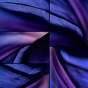 Details of  Morning Glory Flower / Ipomea purpurea convolvolo<br /> Photo Antonietta Baldassarre