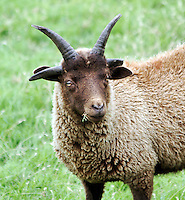The Manx Loaghtan is a breed of sheep (Ovis aries) native to the Isle of Man. It is sometimes spelled as Loaghtyn or Loghtan. It is characterized by a dark brown wool and usually having four or occasionally six horns ......