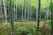bamboo trees in a Japanese garden