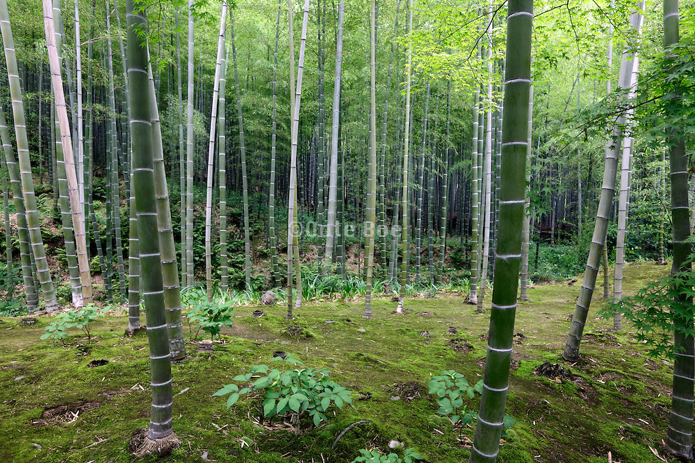 bamboo trees in a Japanese garden