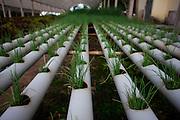Itabirito_MG, Brasil...Horta hidroponica. Na foto, producao de cebolinha...The hydroponic garden. In this photo, the chives production...Foto: LEO DRUMOND / NITRO