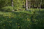 Dandelions and bluebells on a path through English woodland, on 5th May 2018, in Wrington, North Somerset, England.