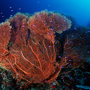 Large sea fan with magenta slender basslets, Eastern Fields, Papua New Guinea. This photograph is a film scan.