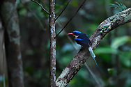 """Common paradise kingfisher (Tanysiptera galatea), Raja Ampat, Western Papua, Indonesian controlled New Guinea, on then Science et Images """"Expedition Papua, in the footsteps of Wallace"""", by Iris Foundation"""