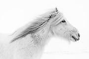 February 03 - White horse wearing its winter coat to stay warm in the winter. <br /> <br /> <br /> White Horse