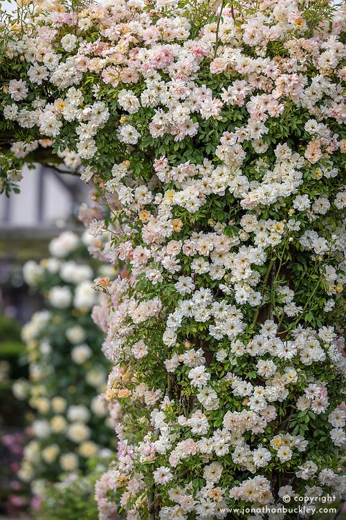 Rosa 'Phyllis Bide' growing on a pergola in the Long Garden