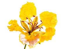 Royal Poinciana -yellow#29