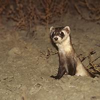 MONTANA, Black-footed ferret in the U L Bend National Wildlife Refuge.