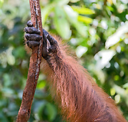 Hand in the Forest. The arm and hand of a male Borneo orangutan (Pongo pygmaeus wurmbi).  Tanjung Puting National Park, Kalimantan, Indonesia