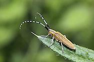 Longhorn Beetle Agapanthea villosovirdescens  on Thistle leaf.