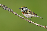 Chestnut-sided Warbler - Dendroica pensylvanica - Adult male breeding