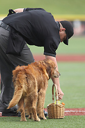 07 June 2015:   Jake the Diamond Dog delivers a basket containing some cold beverages for the umpire David Fields between innings during a Frontier League Baseball game between the Southern Illinois Miners and the Normal CornBelters at Corn Crib Stadium on the campus of Heartland Community College in Normal Illinois