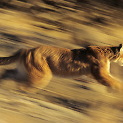 Mountain Lion or Cougar (Felis concolor) running in the Rocky Mountains of Montana. Captive Animal
