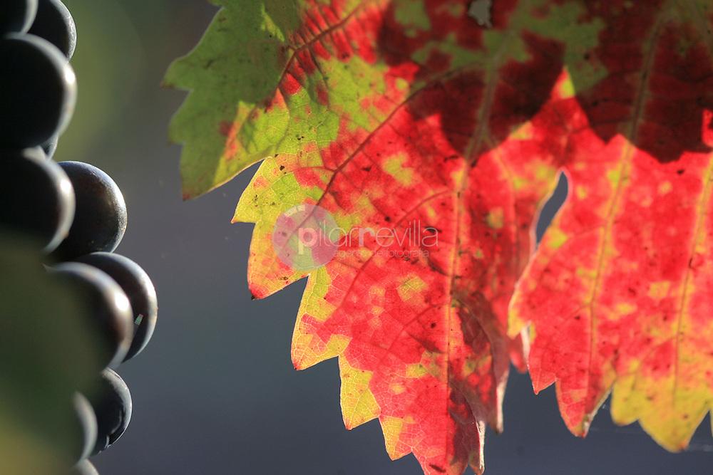 Uva y hojas. La Rioja ©Daniel Acevedo / PILAR REVILLA