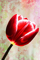A Soft Deep Red Tulip Contrasted Against A Rough Textured Backdrop.<br /> <br /> This is one of the world's most easily recognized and loved flowers. Tulip Flowers are voracious sun seekers (like the sunflower) and will sway their heads in crazy contortions seeking out the best angle for light. This makes them a symbol of opportunity, adjustment, advancement, and aspiration. They are commonly thought to represent attainment of spiritual awareness too. Because they are from bulbs, and return every year (like the daffodil) tulips are symbolic of resurrection and determination. The immediately identifiable shape of their colorful blooms make them a comfortable flower.<br /> <br /> A Turkish legend may be responsible for the red tulip's symbolism. The story goes that a prince named Farhad was love struck by a maiden named Shirin. When Farhad learned that Shirin had been killed, he was so overcome with grief that he killed himself - riding his horse over the edge of a cliff. It's said that a scarlet tulip sprang up from each droplet of his blood, giving the red tulip the meaning 'perfect love.'