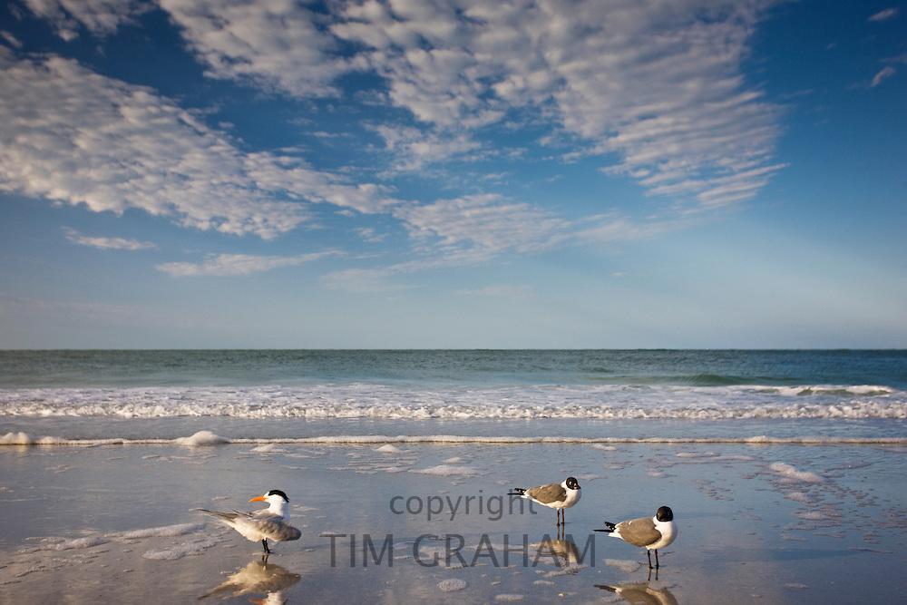 Royal tern, left, Laughing Gulls right shoreline and beach at Anna Maria Island, Florida, USA