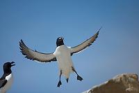 Razorbill (Alca torda) Saltee Islands Ireland