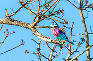 Lilac Brested Roller, another of the colorful birds we found on the Kruger National Park wildlife photo safari. I didn't realize how I'd enjoy all the colorful birds.