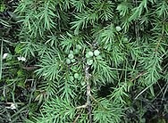 Common Juniper Juniperus communis Cupressaceae Height to 6m. Aromatic evergreen shrub or small tree. Bark Reddish-brown, peeling. Branches With 3-angled twigs. Leaves Needle-like, to 2cm long, in whorls of 3. Foliage is gin- or apple-scented. Reproductive parts Male cones small and yellow. Female cones to 9mm long and green, ripening through blue-green to black in 2nd year. Status Native of chalk downland in S England and moors and limestone crags in N Britain.