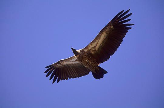 Ruppell's Vulture, (Gyps ruppellii) In flight. Masai Mara Game Reserve. Kenya. Africa.