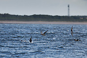 Five juvenile gannets at Chanonry Point, with two plunge diving and one flying past.