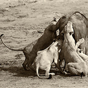 """""""Circle of Life""""                                                   Zimbabwe<br />  This was one of those moments I'll always remember from my trips to Africa.  This Cape buffalo was old and weary, and the pride of lions sensed it. It was as if the Buffalo gave of himself so that life could go on."""