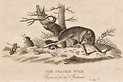 The Prairie Wolf caught in a trap  (Canis  latrans) also called the Coyte or American Jackal.  19th century engraving.