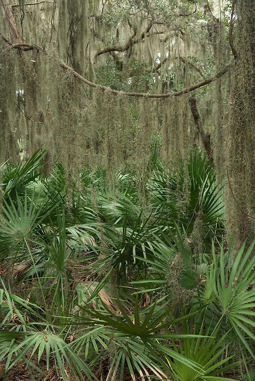 Saw Palmetto (Serenoa ripens) <br /> Coastal forest<br /> Little St Simon's Island, Barrier Islands, Georgia<br /> USA