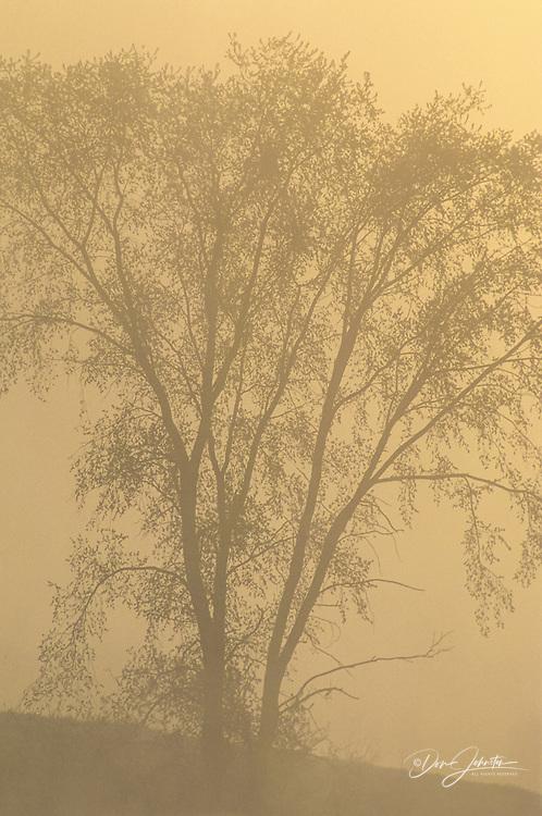 American elm tree in fog at dawn, Burwash, Ontario, Canada