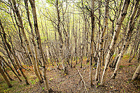 """Aspen trees viewed while near the Tashenshini River. The """"Tat"""" flows out of Yukon, CA, through British Columbia and empties into Glacier Bay National Park in Alaska, US."""