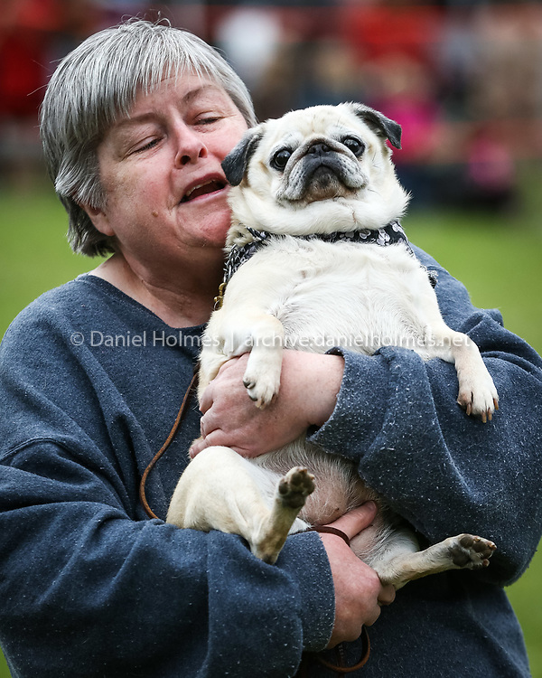 """(5/4/14, SUDBURY, MA) Charlotte Creeley, a volunteer at New Beginning Dog Rescue, shows a 10-year-old pug that is up for adoption during Save a Dog Humane Society of Sudbury's """"Paws in the Park"""" dog walk and fundraiser at Wayside Inn  in Sudbury on Sunday. Daily News and Wicked Local Photo/Dan Holmes"""