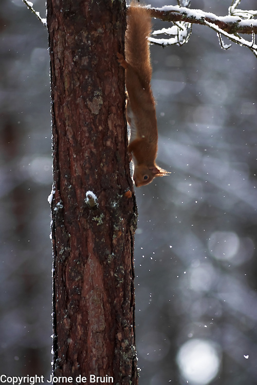 A red squirrel is running down a tree in a clearing in the snowy forest in the Cairngorms National Park in Scotland.